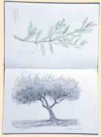 Olive Tree Watercolour Study